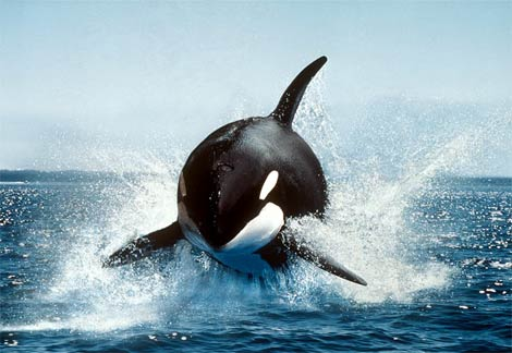Breaching Killer Whale.